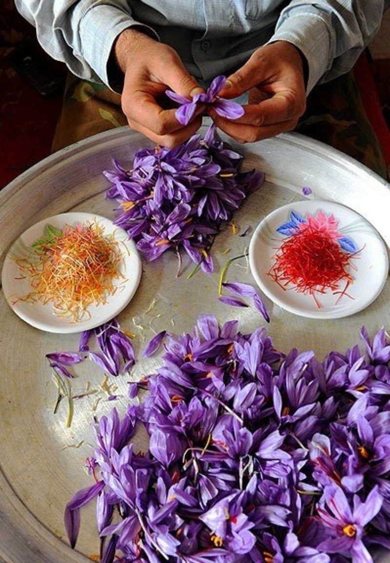 saffron farms,saffron harvest,saffron harvest tour,tour for show saffron harvest in Iran,spectacular thing in Iran,saffron in Iran,saffron farms in Iran